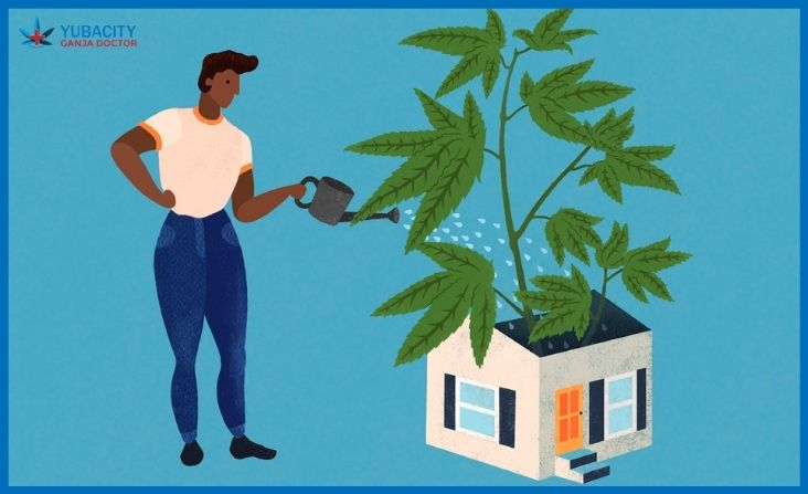 A Beginners Guide To Growing Marijuana At Home